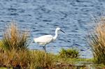 Aigrette garzette (Egretta garzetta) Photo 91230