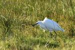 Aigrette garzette (Egretta garzetta) Photo 128169