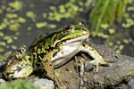 Grenouille comestible, Grenouille verte (Rana esculenta) Photo 131076
