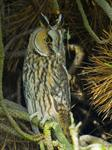 Hibou moyen-duc (Asio otus) Photo 82511