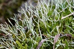 Cladonia furcata Photo 40546