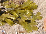 Fucus serratus Photo 11277