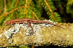 Lézard vivipare (Lacerta vivipara) Photo 67720