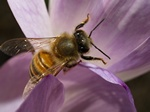 Abeille domestique (Apis mellifera) photo