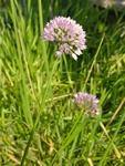 Ail des montagnes (Allium senescens) photo