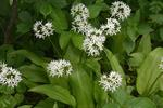 Ail des ours (Allium ursinum) photo