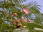Albizia julibrissin photo