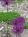 Allium aflatuense photo
