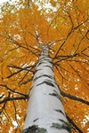 Betula pubescens ssp. pubescens photo