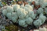 Cladonia stellaris photo