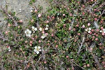 Cotoneaster microphyllus photo
