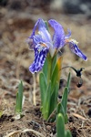 Iris kemaonesis photo