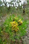 Isopogon anethifolius photo