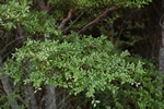 Nothofagus solandri var. solandri photo