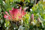 Protea exima photo