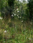 Anthericum rameux (Anthericum ramosum) photo