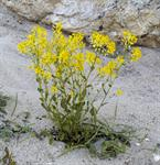 Barbarée commune (Barbarea vulgaris) photo
