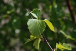 Bouleau (pubescent), Bouleau des fanges (Betula pubescens) photo