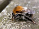 Bourdon des champs (Bombus pascuorum) photo