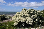 Chou marin (Crambe maritima) photo