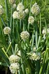 Ciboule (Allium fistulosum) photo