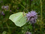 Citron (Gonepteryx rhamni) photo