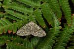 Cleorodes lichenaria photo