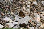 Coenonympha dorus photo