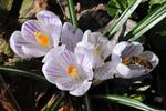 Crocus (Crocus vernus) photo