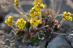 drave alpine (Draba alpina) photo
