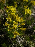 Drave de Hoppe (Draba hoppeana) photo