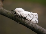 Écaille tigrée (Spilosoma lubricipeda) photo
