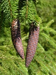 Epicea, Fie, Pesse, Sapin rouge (Picea abies) photo