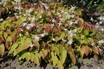 Epimedium grandiflorum photo