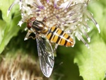 Episyrphus balteatus photo