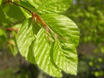 Fan, Fau, Fayard, Foyard, Hêtre (Fagus sylvatica) photo