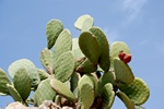 Figuier de Barbarie (Opuntia ficus-indica) photo