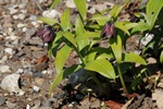Fritillaria camschatcensis photo
