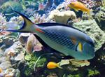 Acanthurus sohal photo