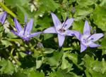 Campanula fenestrellata photo