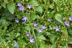 Campanula portenschlagiana photo