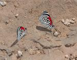 Diaethria clymena photo