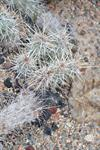 Echinocereus barthelowanus photo