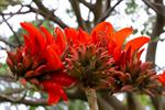 Erythrina caffra photo