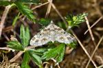 Eupithecia pulchellata photo