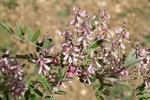 Indigofera potaninii photo