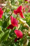Lathyrus rotundifolius photo