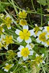Limnanthes douglasii photo