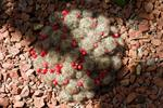 Mammillaria prolifera photo