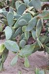 Opuntia amyclaea photo